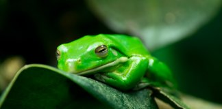 żaba ksenoboty